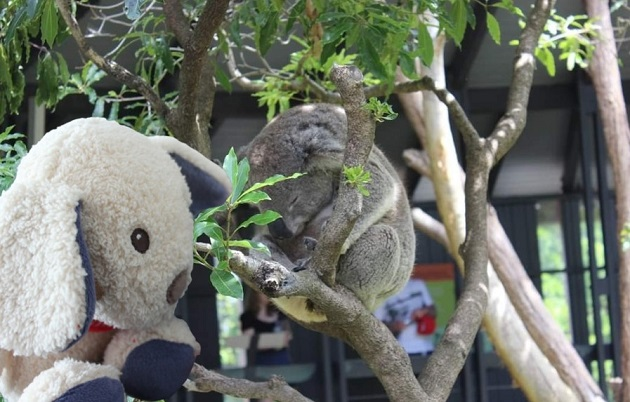 Contentbär im Taronga Zoo