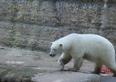 Eisbär im Gehege